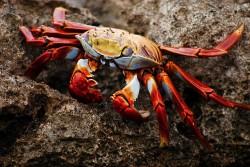 Run little crab, run!