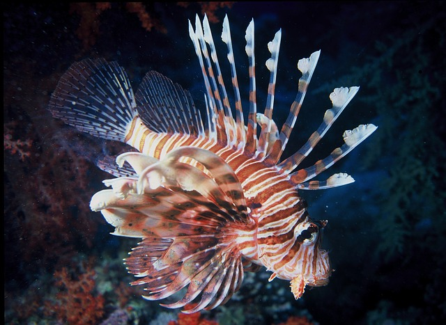 This is a lionfish. It's beautiful but